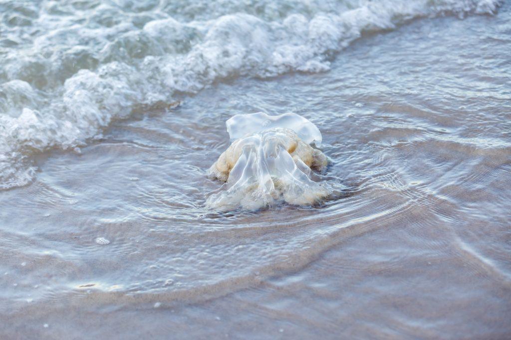 クラゲ 海辺 危険