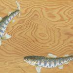 あなたは何を狙う?渓流&管理釣り場で釣れる代表的な魚図鑑