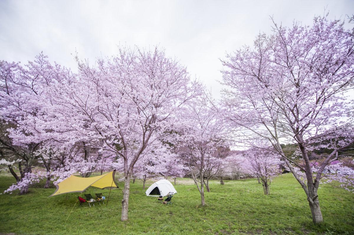 お花見 キャンプ