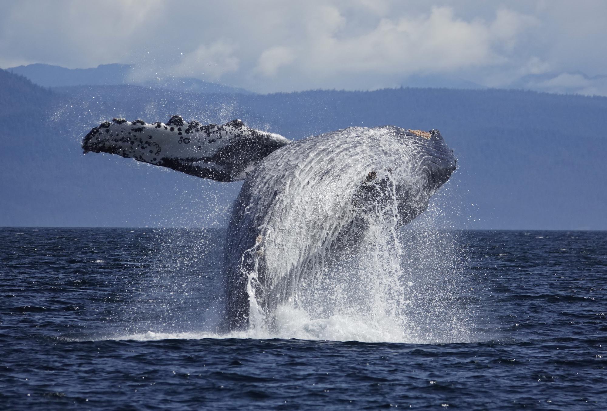 沖縄ケラマ諸島・クジラ