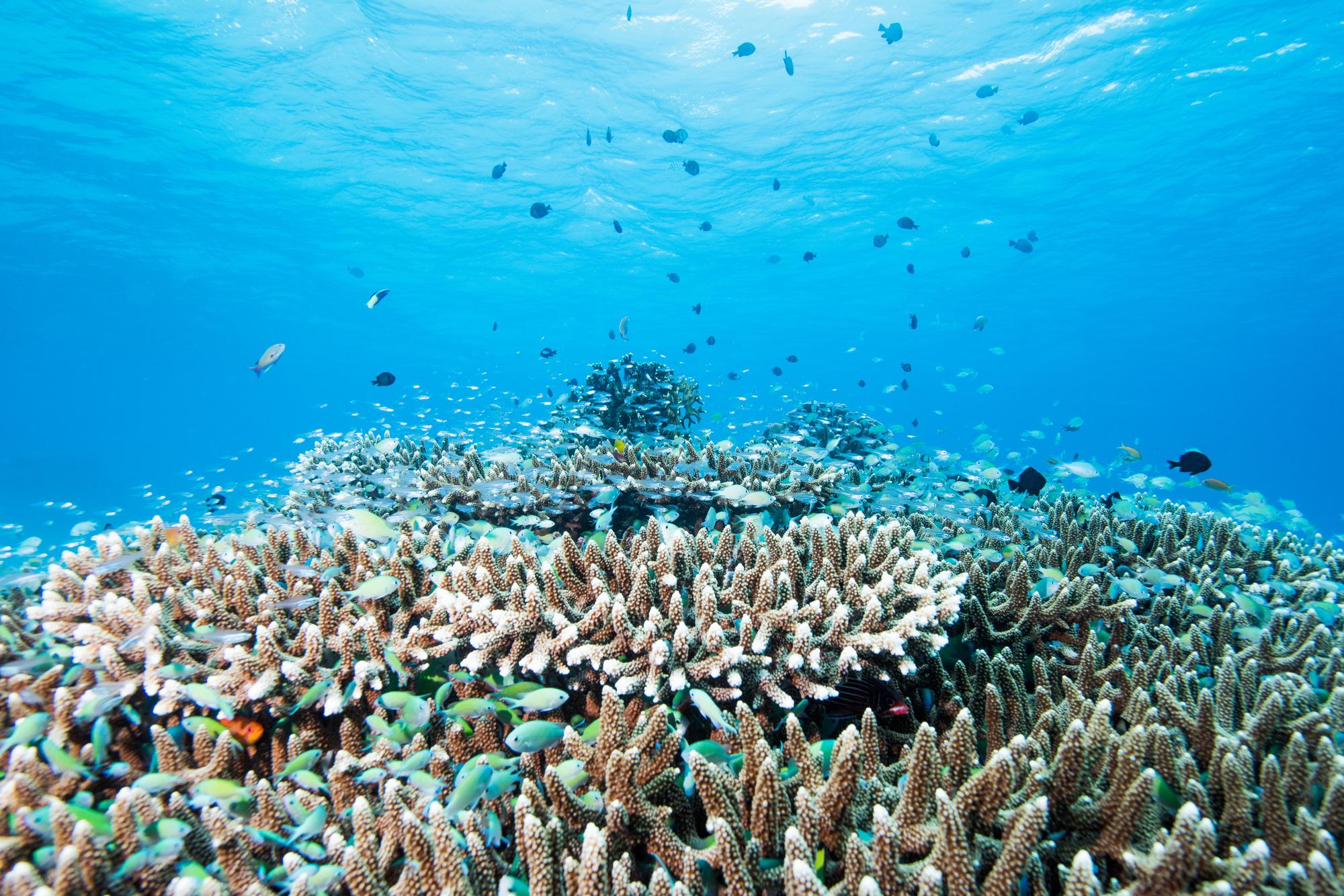 サンゴ 白化現象