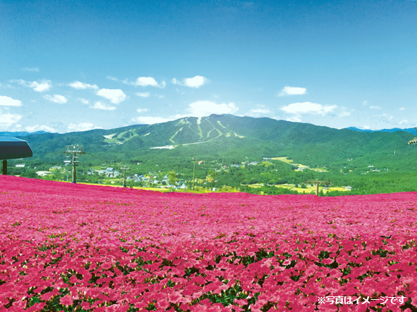 ひるがの高原に新名所!日本最大級4万株の桃色吐息が咲き誇る! 岐阜県『ひるがのピクニックガーデン』がオープン