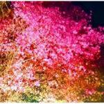"""日本一の""""ミツバツツジ""""街道 「嵐山-高雄パークウエイ」 期間限定でライトアップも開催"""