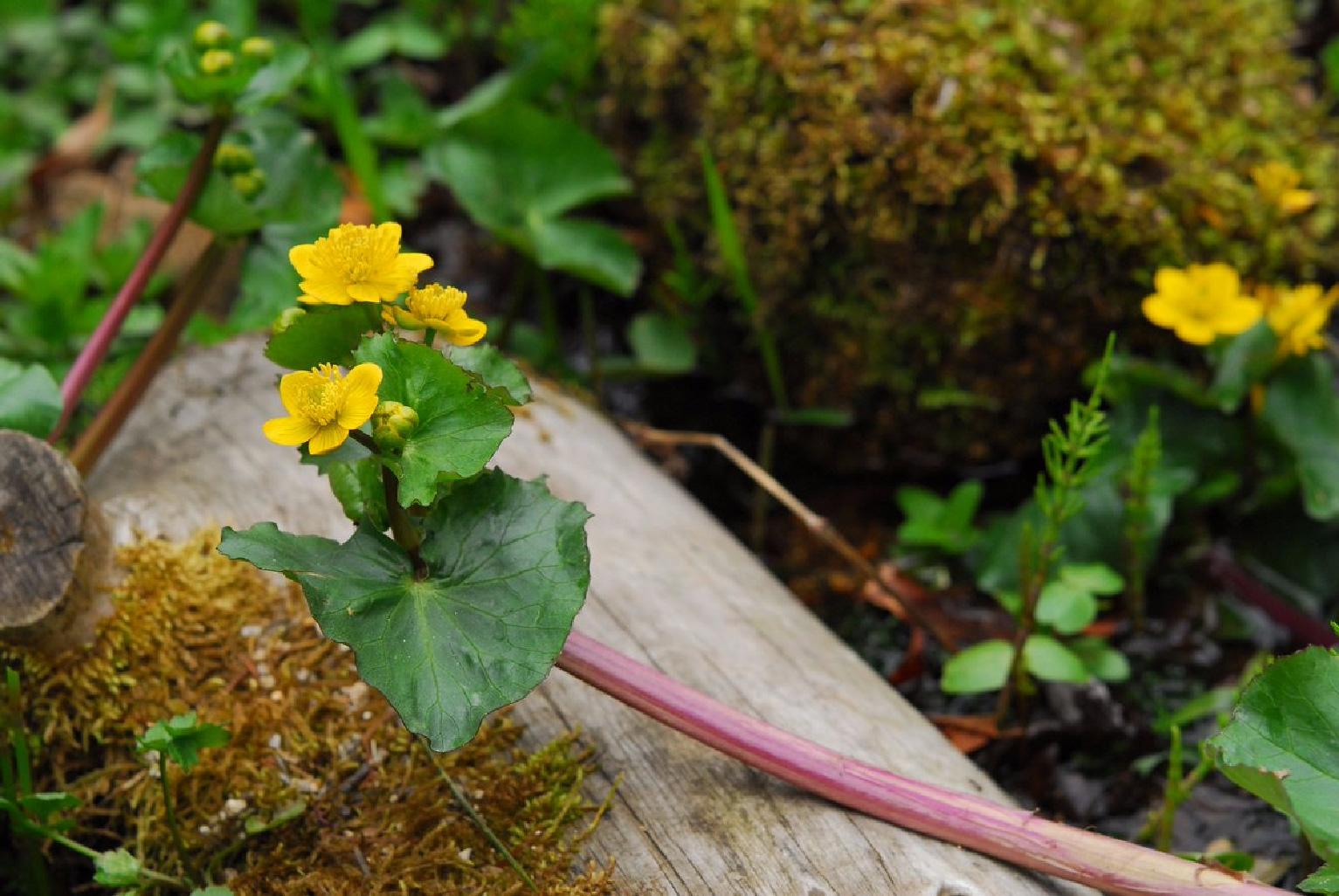 開園86周年を迎える六甲高山植物園、昭和天皇に献上された花「エンコウソウ」が見頃