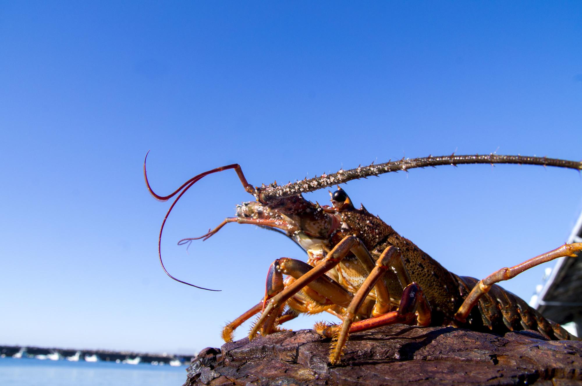 伊勢海老を釣る最適な餌は?伊勢海老釣りの餌をランキング形式で紹介