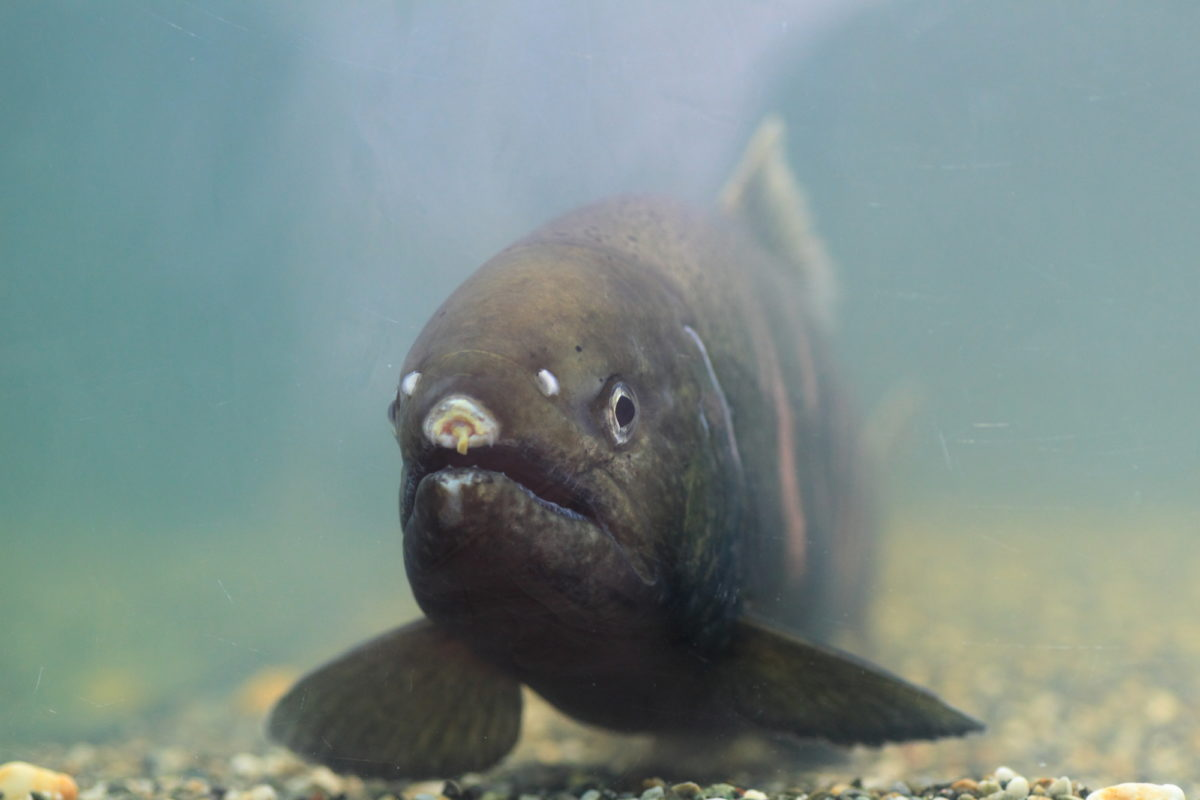 一度は釣りたい絶品希少魚!琵琶湖でのビワマスの釣り方とルール