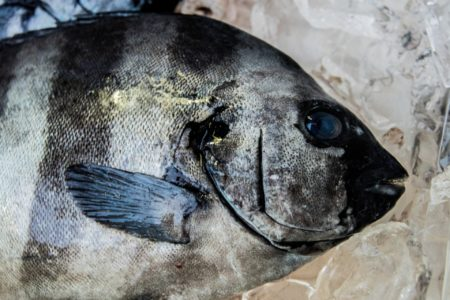 磯の王者石鯛を釣ろう!石鯛を釣り上げる方法や必要なタックルを徹底解説
