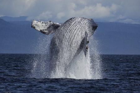 ザトウクジラに会いたい!冬のホエールウォッチングに出かけよう