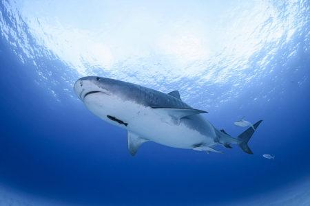 アドレナリン全開!サメがうじゃうじゃ集まるタヒチのシャークダイビング