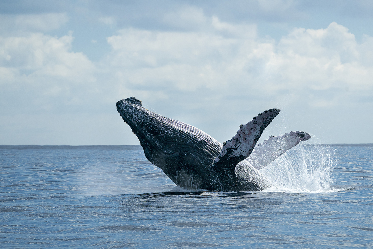 ザトウクジラ ホエールウォッチング
