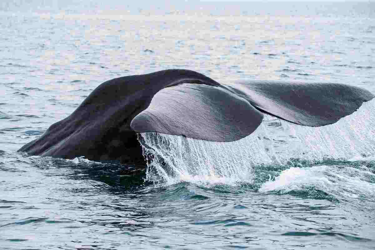 海の王者シャチに会える!北海道で楽しむホエールウォッチングツアー