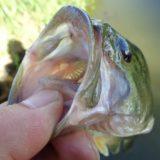 秋のバス釣り実体験リポート!春に釣れはじめが早いエリアが秋にもっともよく釣れる理由とは?
